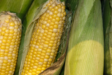 Fresh corn on the cob partly in the husk  with silks stacked vertically with other completely husked corn