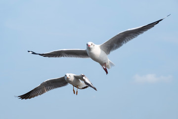 Closeup image of a flock of seagulls flying in the blue sky