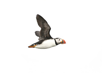 Atlantic Puffin in flight, white background isolated.  The clown faced bird. Newfoundland, Canada.  Slight motion blur.