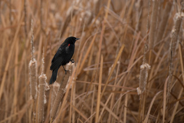 Red wing blackbird perched on cattail reed