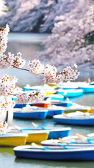 Sakura, japanese cherry blossom during the spring season