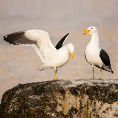 Kelp Gulls in love