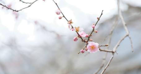Pink Plum flower on tree