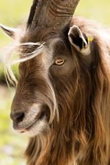 Portrait of a Billy Goat - Italian Alps.