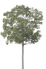 Big tree isolated over white background.