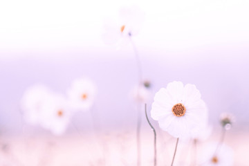 Pink cosmos flower in soft color, Made with blur style for background