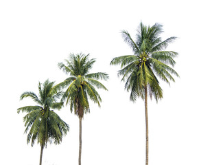 A row of three coconut trees next to each other. Isolated on white background.
