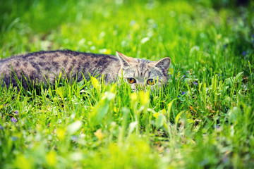 Cat hiding in a grass on the green lawn in summer