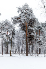 Picture of pine in winter forest