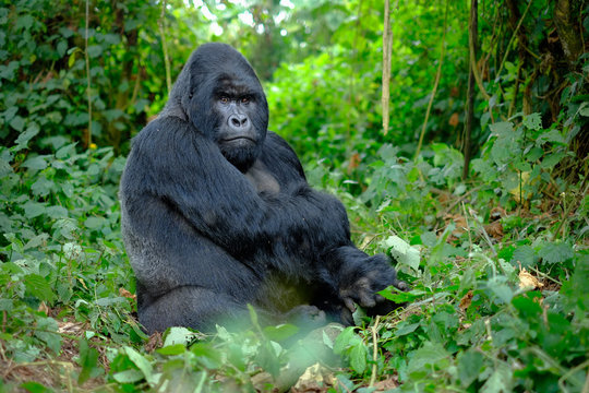 Silverback mountain gorilla looking intently into camera.