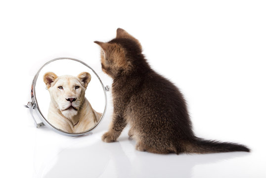 kitten with mirror on white background. kitten looks in a mirror reflection of a lion