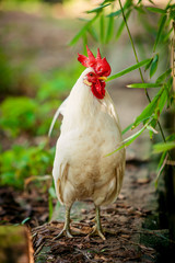 beautiful  rooster. white rooster