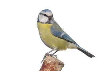 bird tit on branch