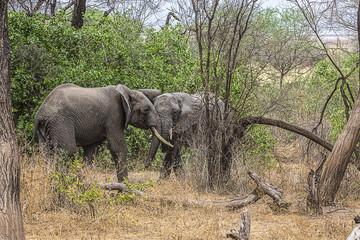 Elephants Fighting Tanzania 7619