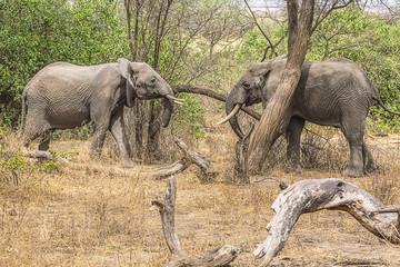 Elephants staring Tanzania 7634