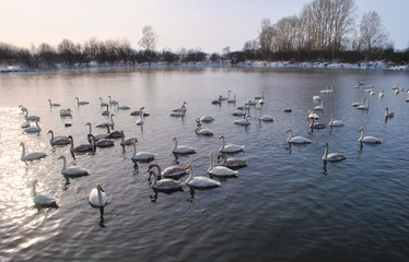 Swans on a winter lake