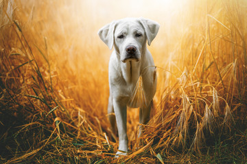happy cute little labrador retriever dog puppy standing in the sunshine on field during sunset