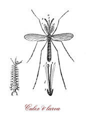 vintage engraving of culex mosquito and larva