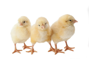 small fluffy yellow Easter Chickens on a white background