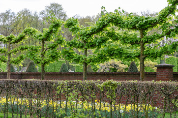 Horse chestnut trimmed like a garland in a park, in springtime, Lisse, The Netherlands