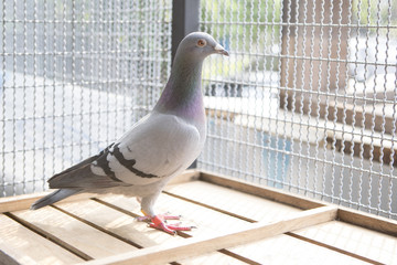 good female natherland speed racing pigeon in home loft