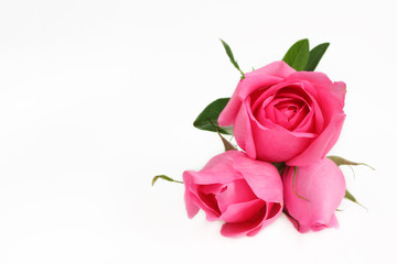 Rose pink color flower on white background.