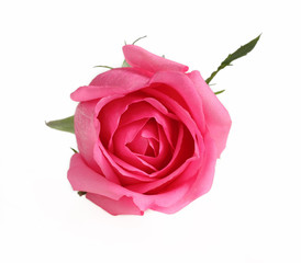 Rose pink color flower on white background.
