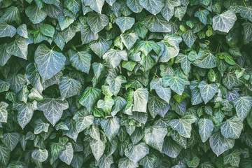 ivy on the wall. background. toned.