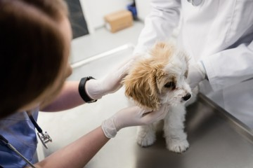 Vets examining dog in the clinic
