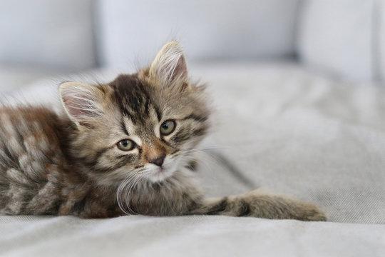 Cute Main Coon kitten - Copyspace
