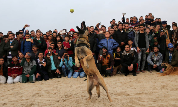 A dog jumps for a ball during a dog show organised by local breeders in Rafah in the southern Gaza Strip