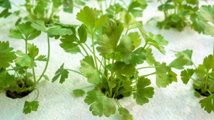 Vegetable hydroponics coriander