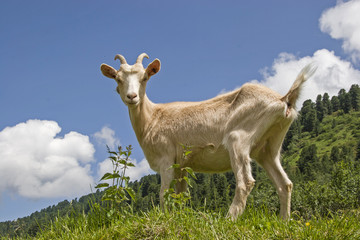Ziege in den Bergen Tirols