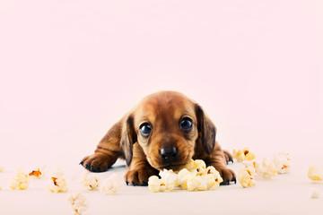 Dachshund Dog pop Corn