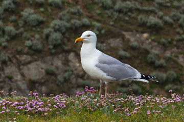 One seagull on the rocky blossoming coast in Brittany in spring sunny day, France.