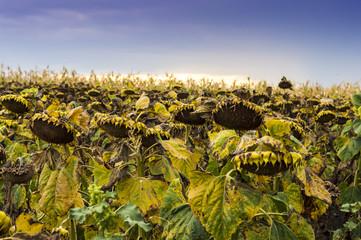 Field of dry sunflowers in Moldavia