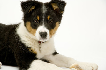 A cute young border collie puppy looking at the camera
