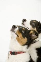 Two cute young border collie pups looking up obediently at their owner