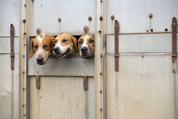 Three hunt dogs peering out from a passing transporter lorry