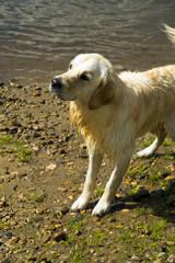 An obedient young Golden Retriever dogs waits on the river bank for a stick to be thrown