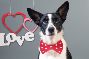 Portrait of cute mixed breed dog in bow tie