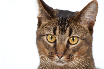 Cute wide-eyed part Abyssinian young male cat watching cautiously