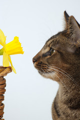 Cute part Abyssinian young male cat studying a daffodil
