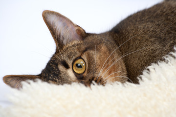 Striking amber eye of a part-Abyssinian young male cat lying on a sheepskin rug