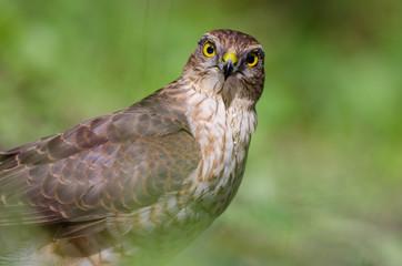Sparrowhawk portrait (Accipiter nisus)