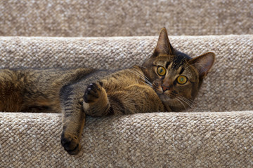 Cute playful part Abyssinian male kitten lying on the stairs looking wide eyed at the camera