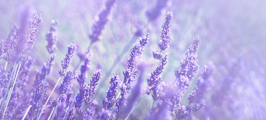 Violet lavender field at soft light effect for your floral background on horizontal web header or banner. Summer season in Provence - fresh lavanda flowers at pastel colors of ultraviolet tone.