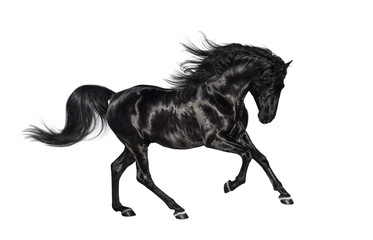 Galloping black Andalusian stallion isolated on white background.