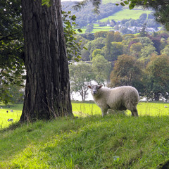 A single sheep posing on the edge of a field near Ambleside in The Lake District, Cumbria, UK