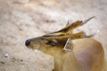 Image of Barking deer or Muntjac (Muntiacini) on the ground. Wildlife Animals.